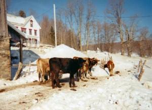 Huot's heifers